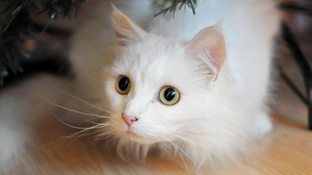 Harga Kucing Persia Dibawah 500rb Apa Ada Info Binatang