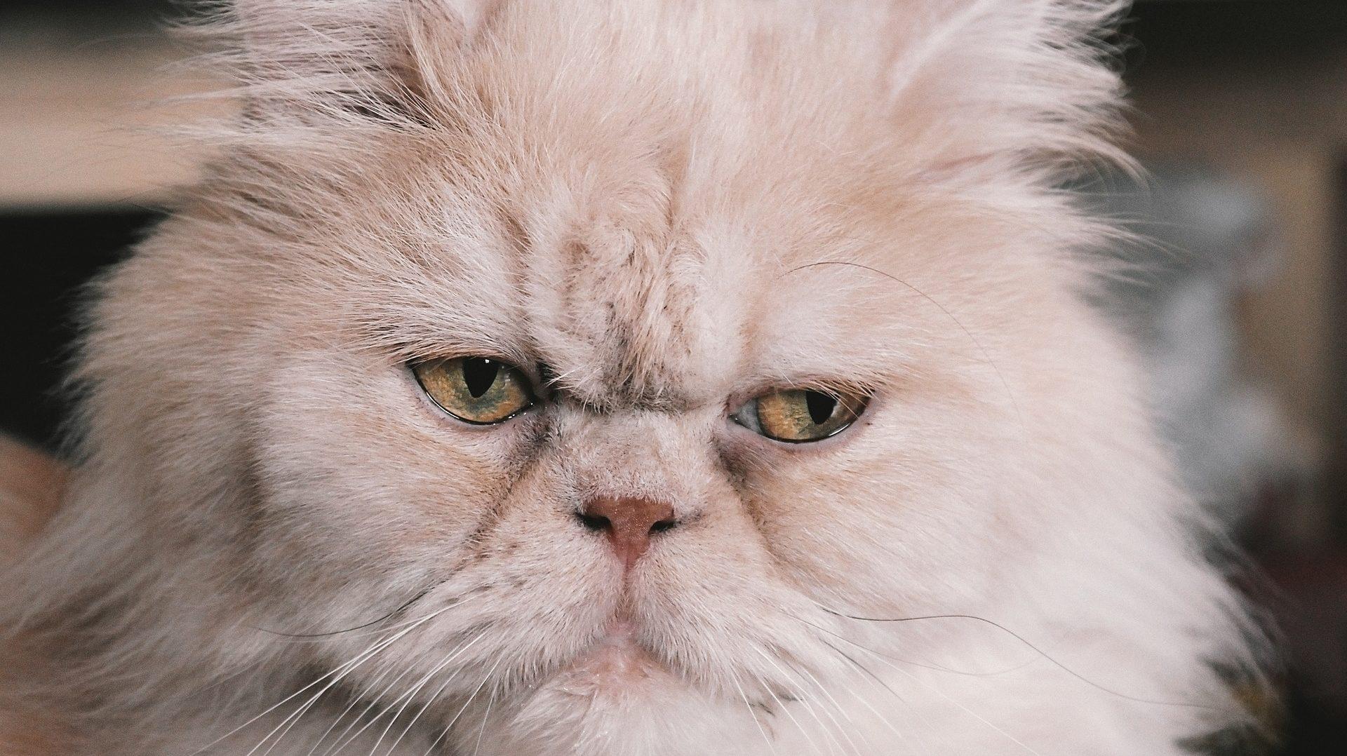 Harga Kucing Persia Medium Di Indonesia Info Binatang