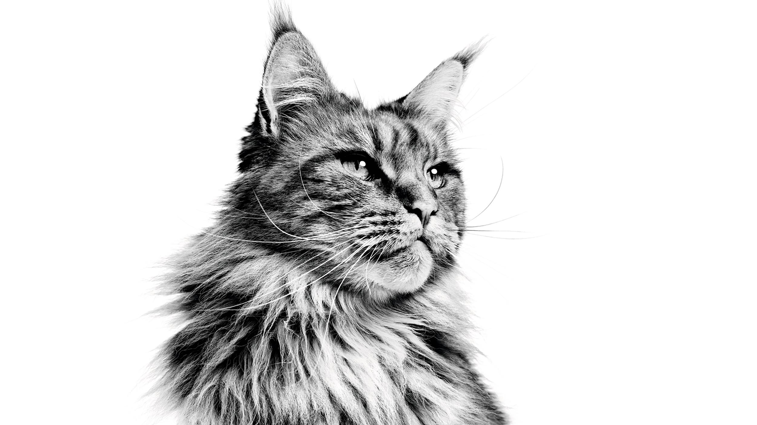 Harga Kucing Maine Coon Dan Lokasi Beli Di Indonesia Info Binatang