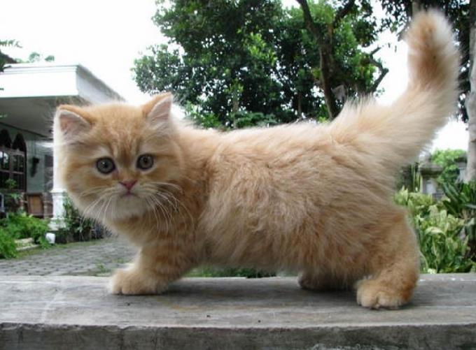 kitten persia 500rb