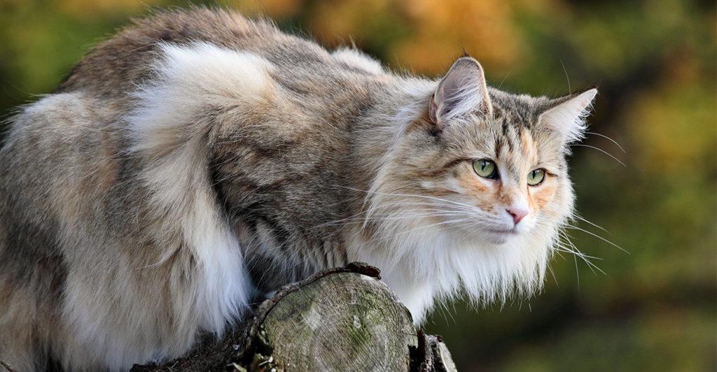 Cara merawat kucing hutan