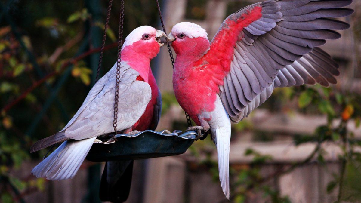 Download Suara LoveBird untuk kawin terbaru