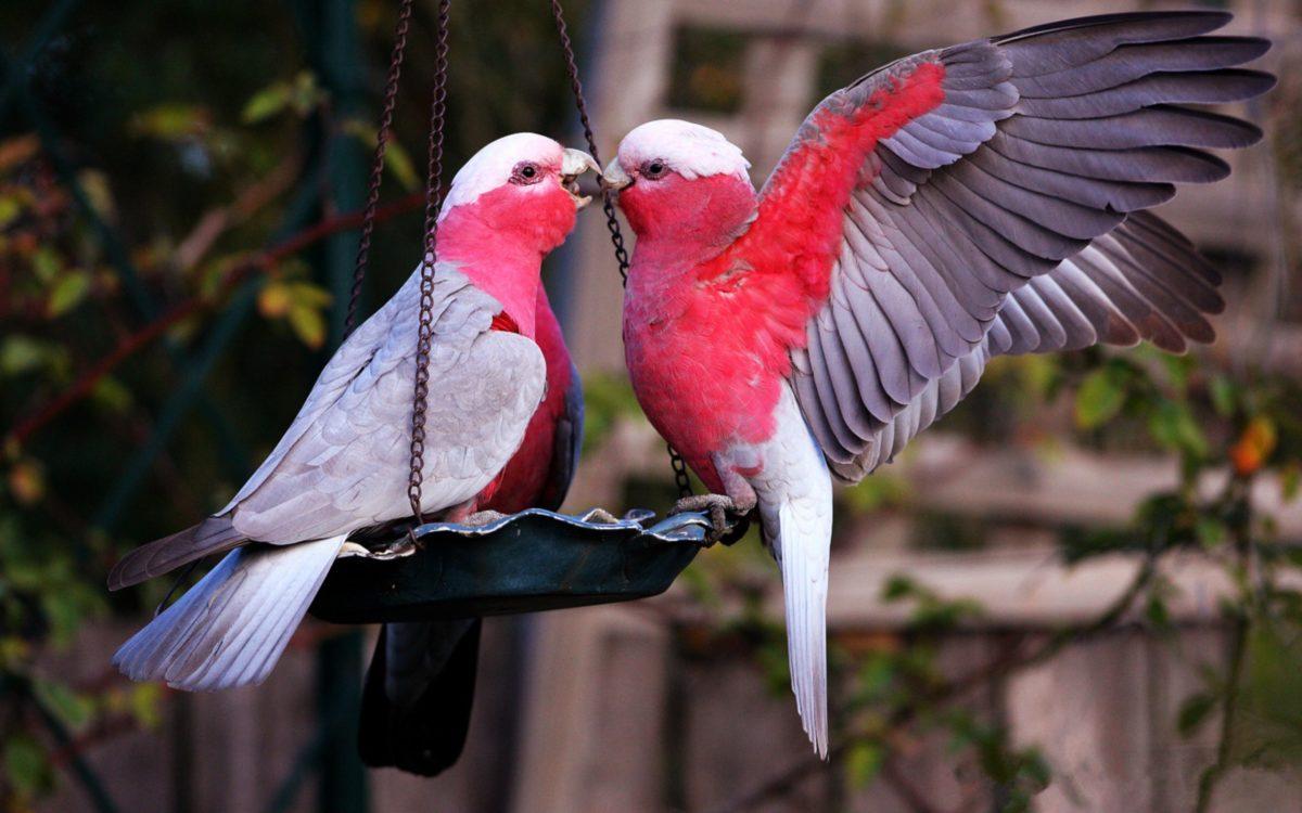 Download Suara LoveBird