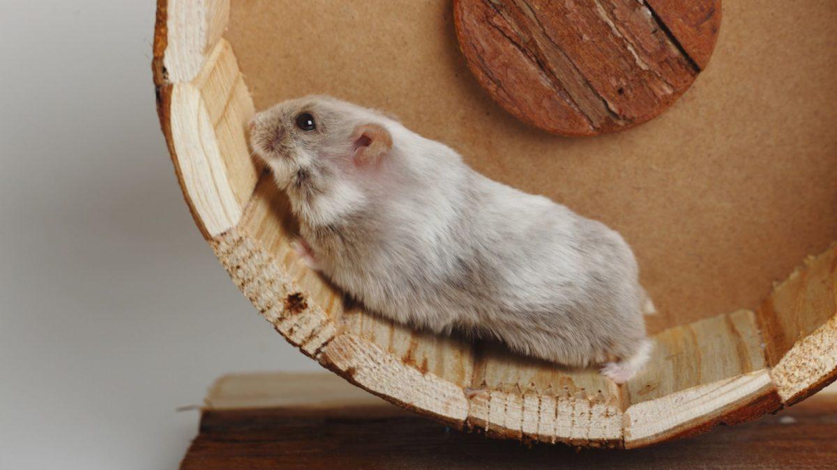 10 Fakta Hamster Campbell yang jarang diketahui