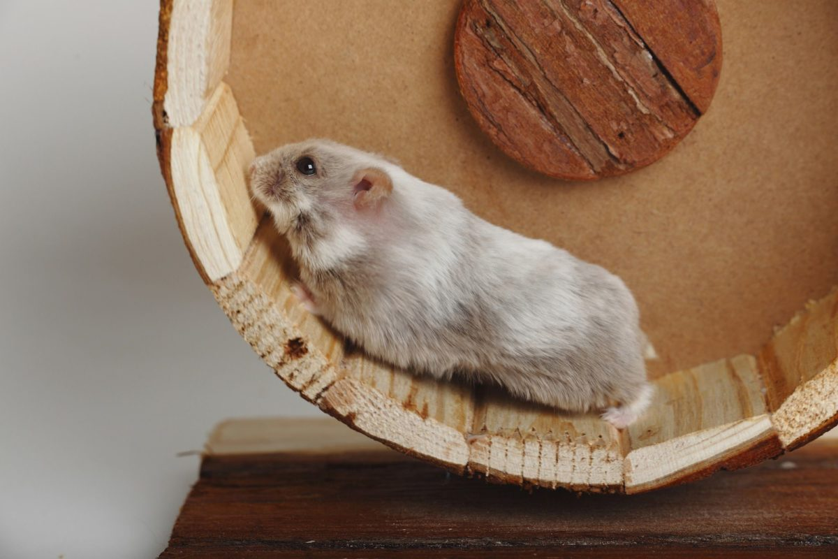 10 Fakta Hamster Campbell Yang Jarang Diketahui Info Binatang