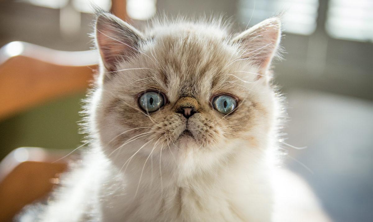 Kucing Exotic Shorthair yang sangat mempesona
