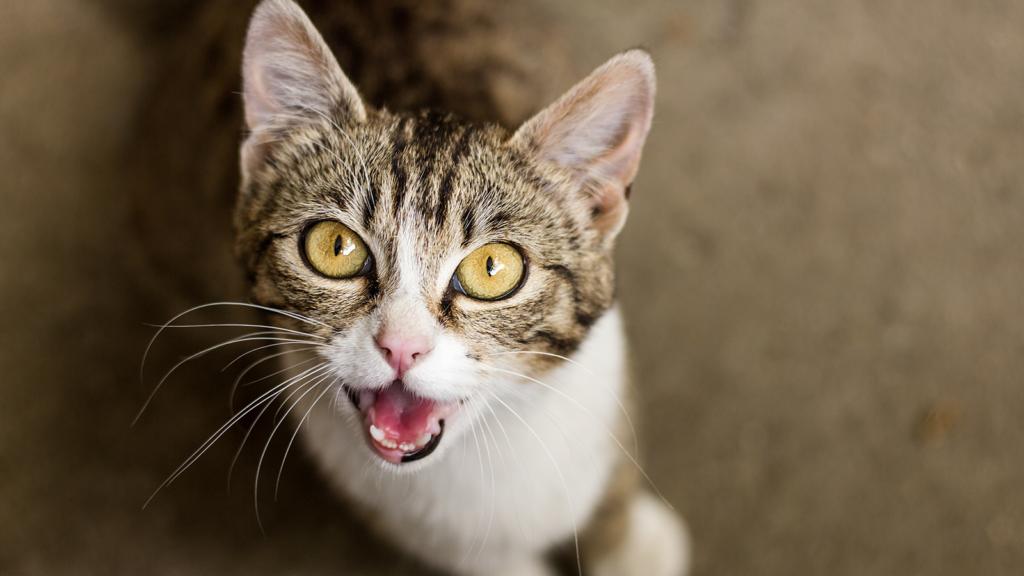 Kucing Mengeong dimalam Hari