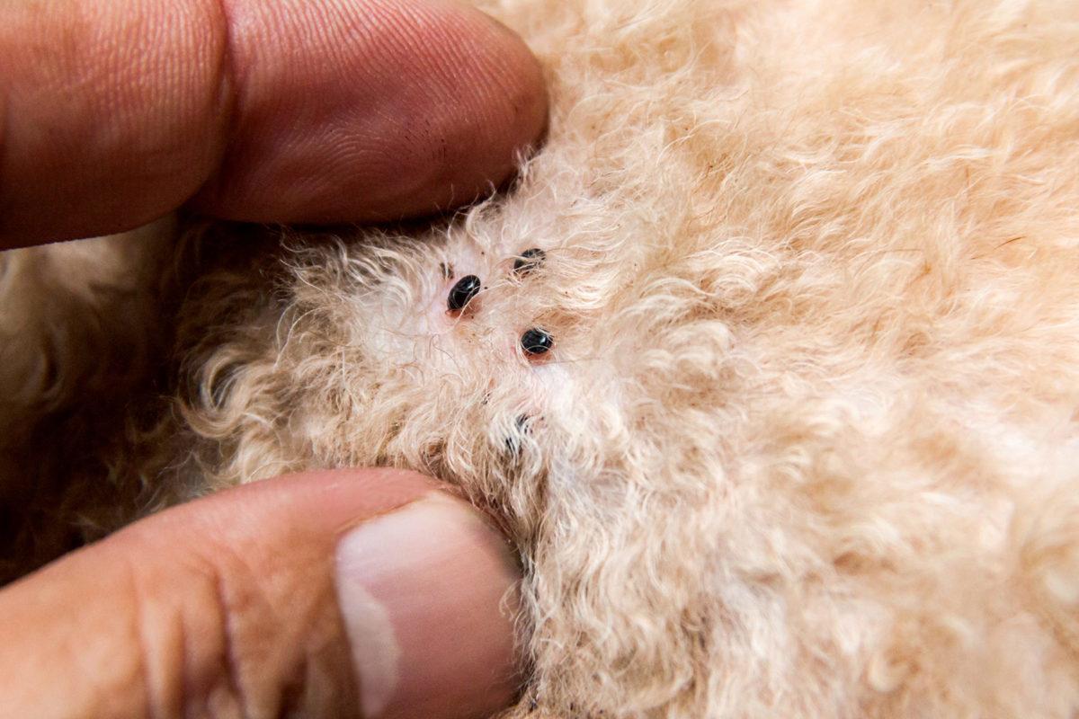 7 Cara Menghilangkan Kutu Anjing Dengan Ampuh Info Binatang