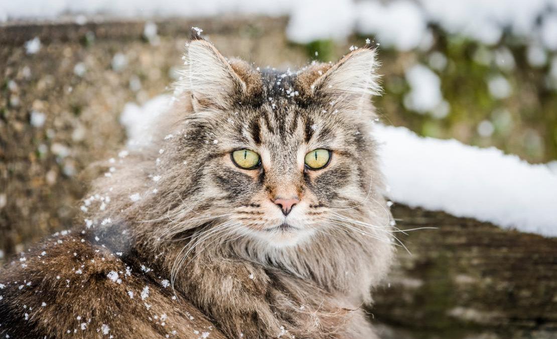 Harga Kucing Hutan Di Indonesia Dan Lokasi Jualnya Info Binatang