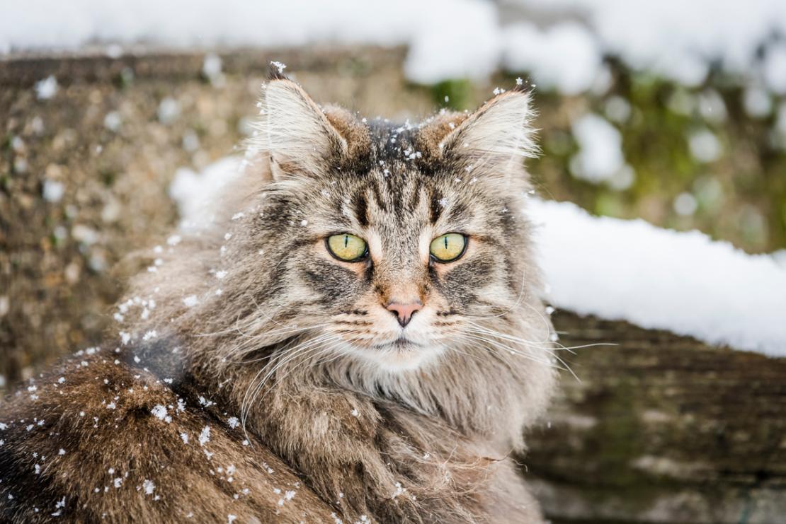 harga kucing hutan