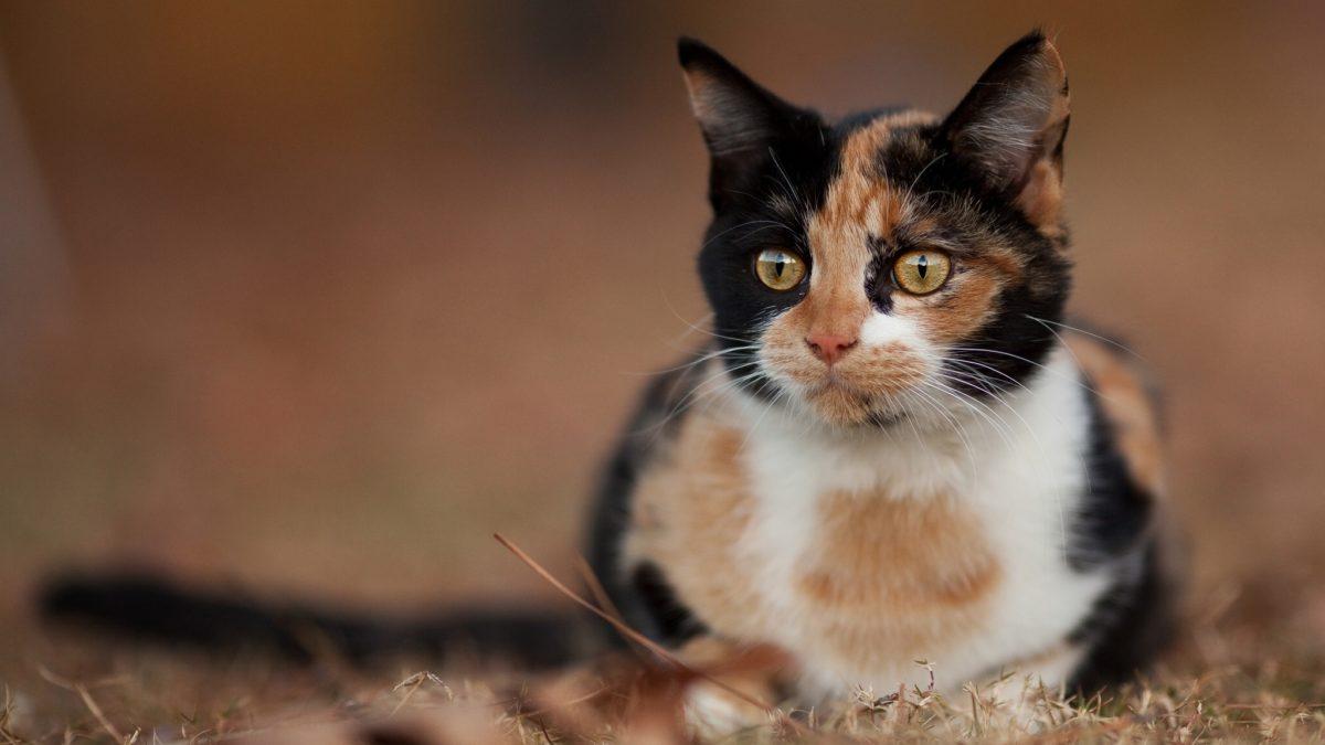 9 Mitos Kucing Belang tiga yang jarang diketahui orang