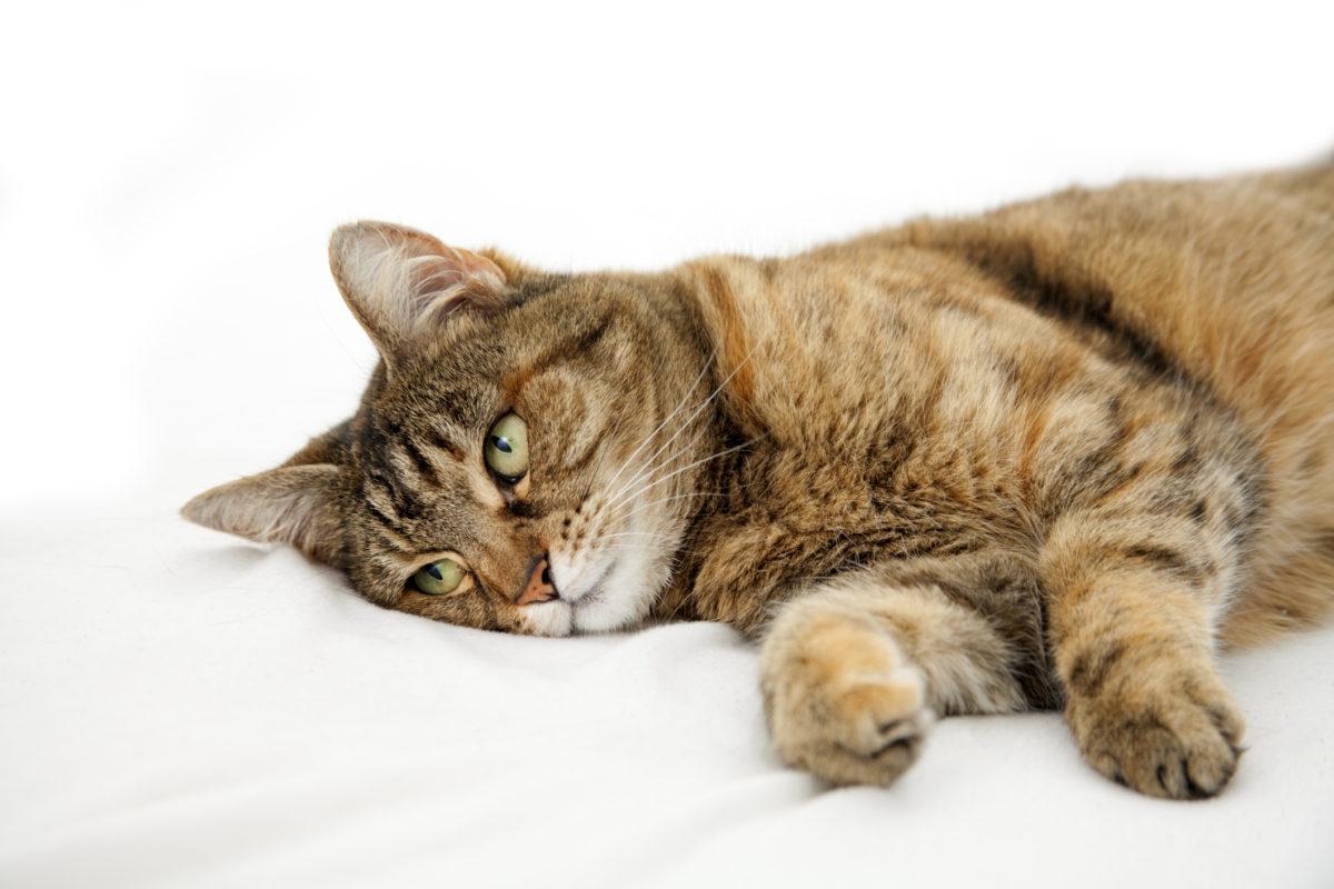 Obat Flu Kucing Yang Paling Ampuh Recommended Info Binatang
