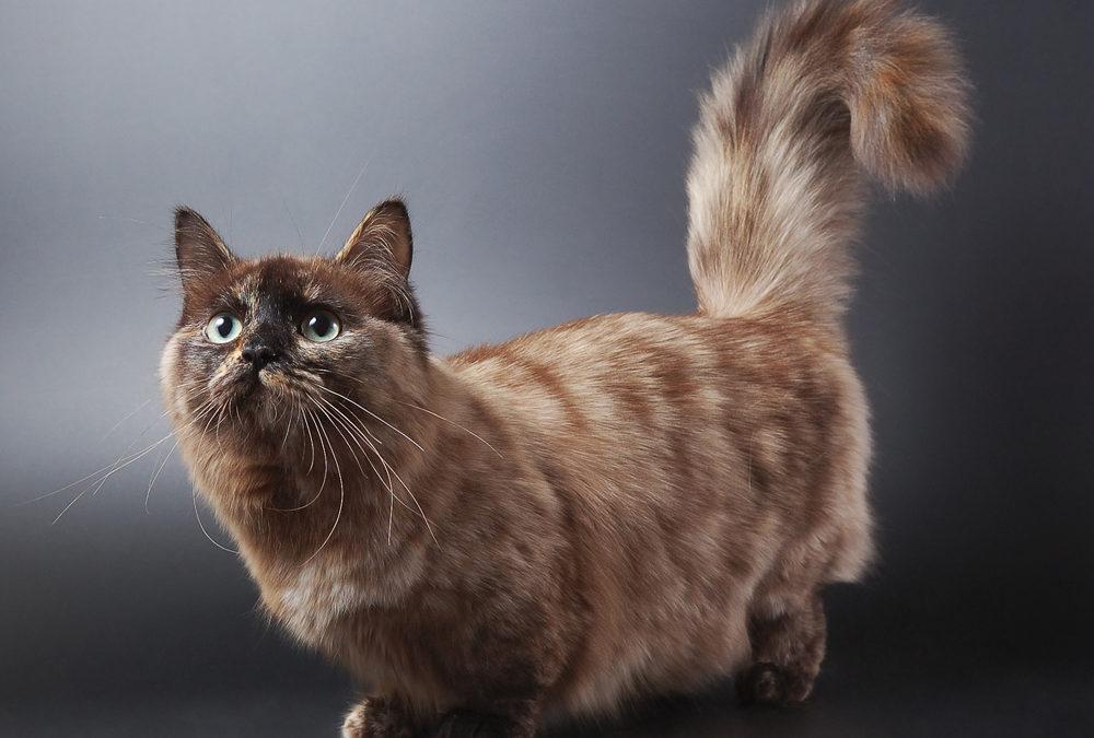 7 Fakta Kucing Kaki Pendek Yang Kini Menjadi Sorotan Info Binatang