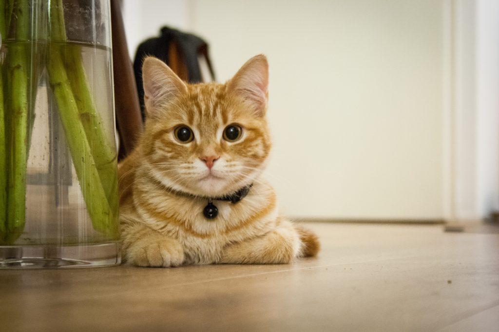 8 Fakta Kucing Kampung Yang Bisa Bikin Ngilu Info Binatang