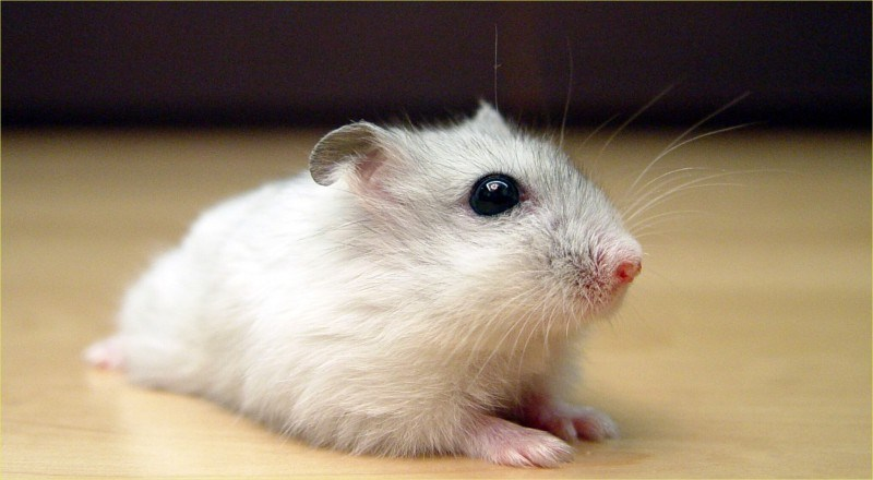 Jenis hamster campbell