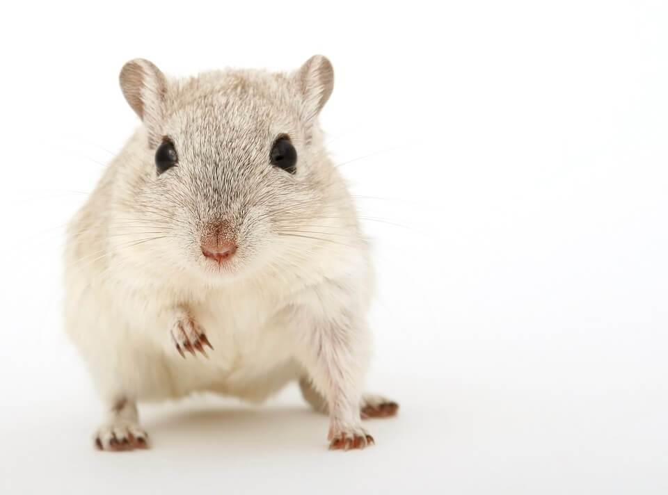jenis hamster winter white