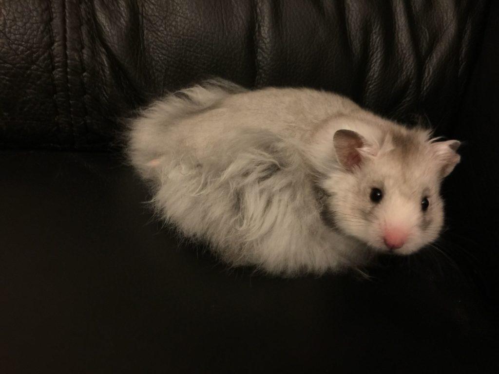 jenis hamster syrian long hair