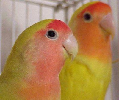 Lovebird Australian Cinnamon