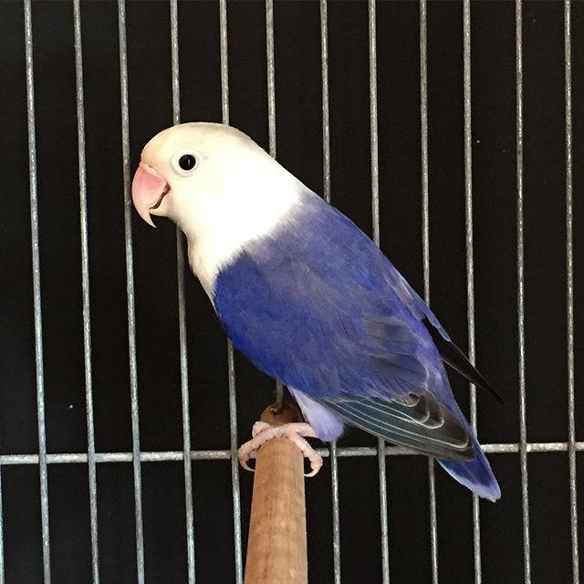 Lovebird violet