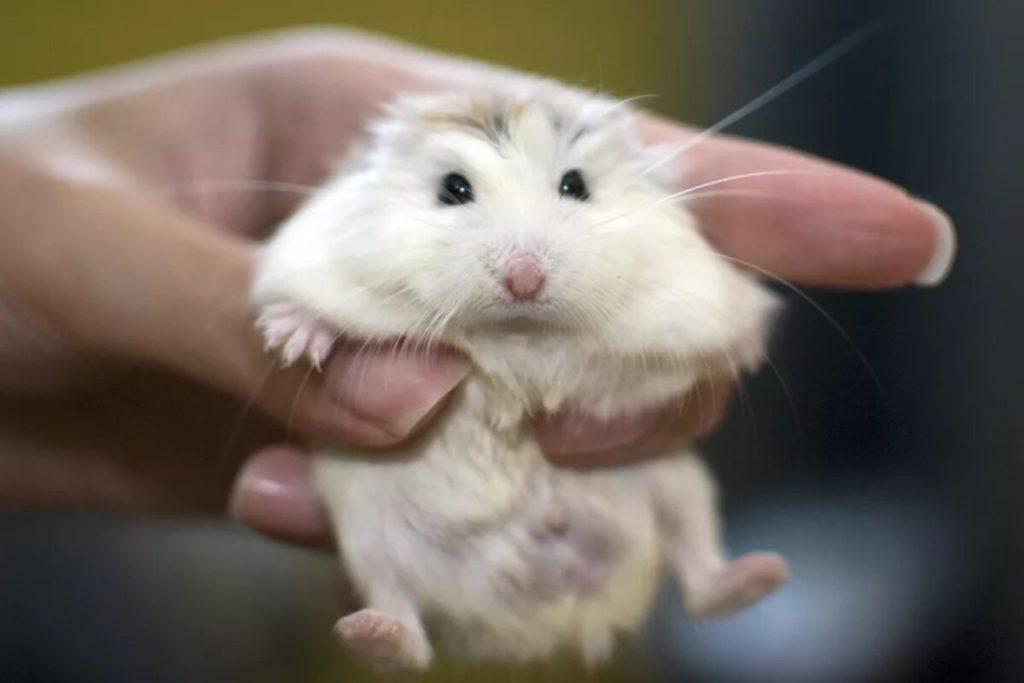 jenis hamster roborovski white face