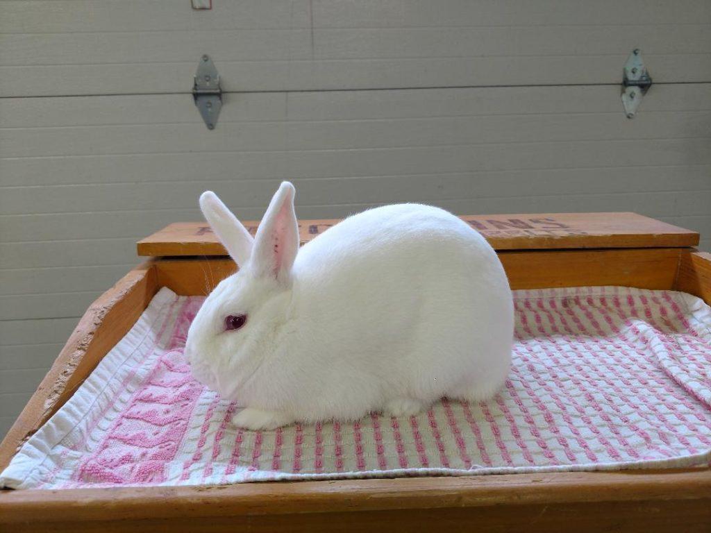 florida white rabbit 1