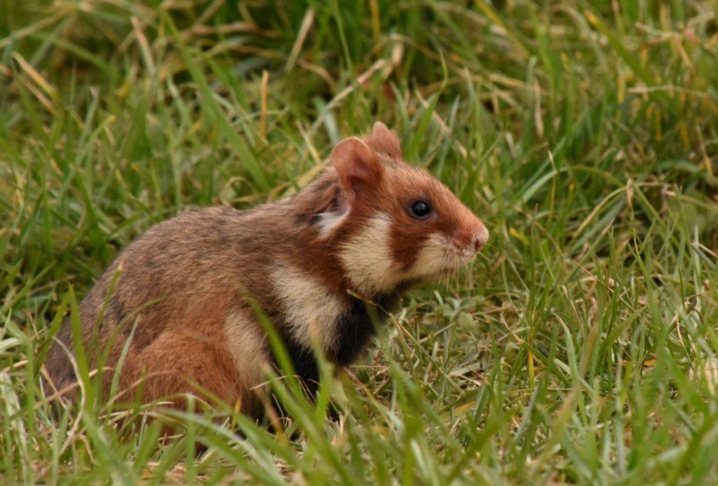 Jenis hamster eropa