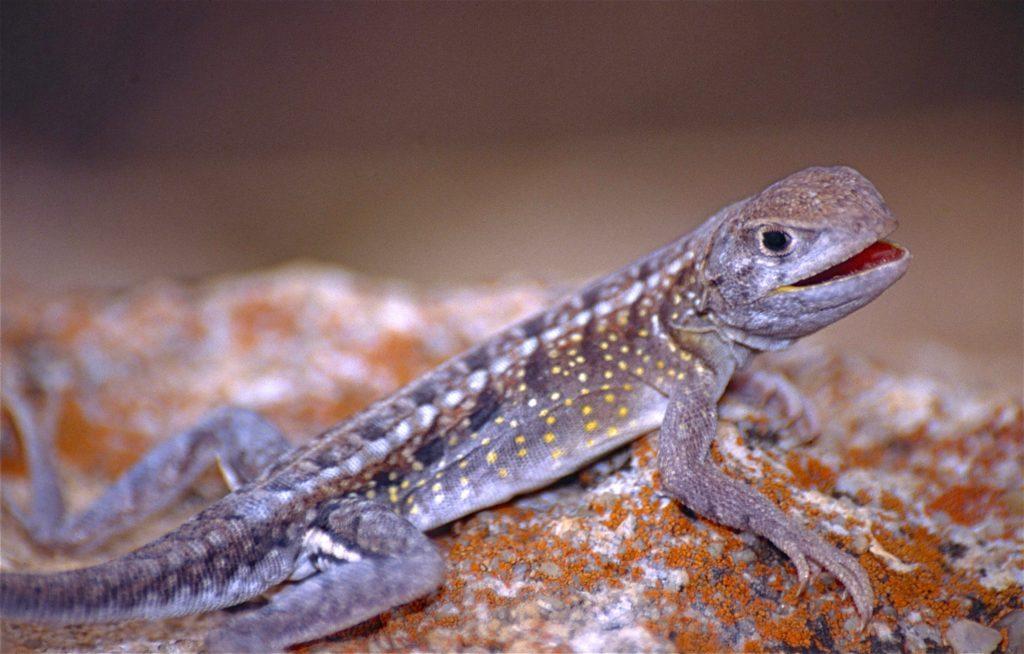 Iguana Chalarodon