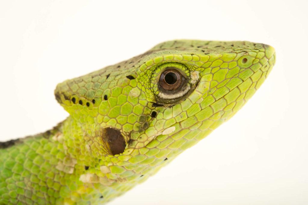 jenis Iguana Laemanctus