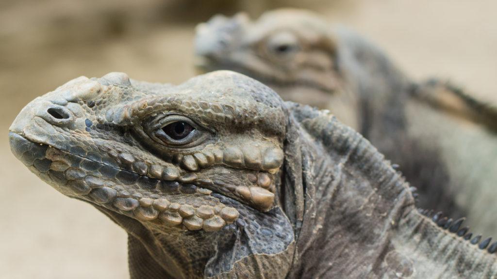 jenis Iguana rhino badak