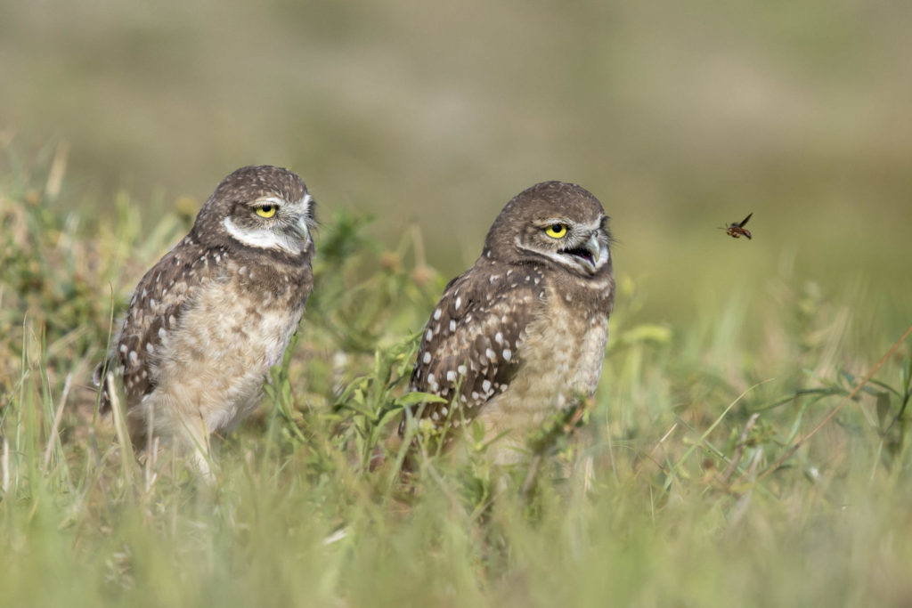 jenis burung hantu Burrowing owls
