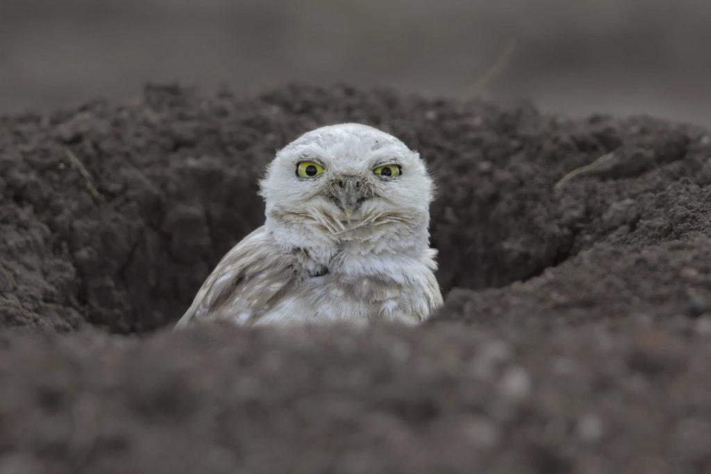 17 Jenis Burung Hantu Dengan Wajah Paling Mengesankan Info Binatang