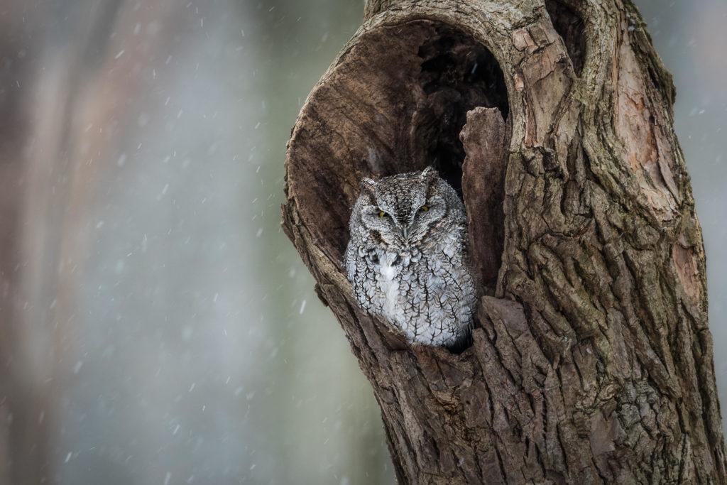 jenis burung hantu Eastern screech owl