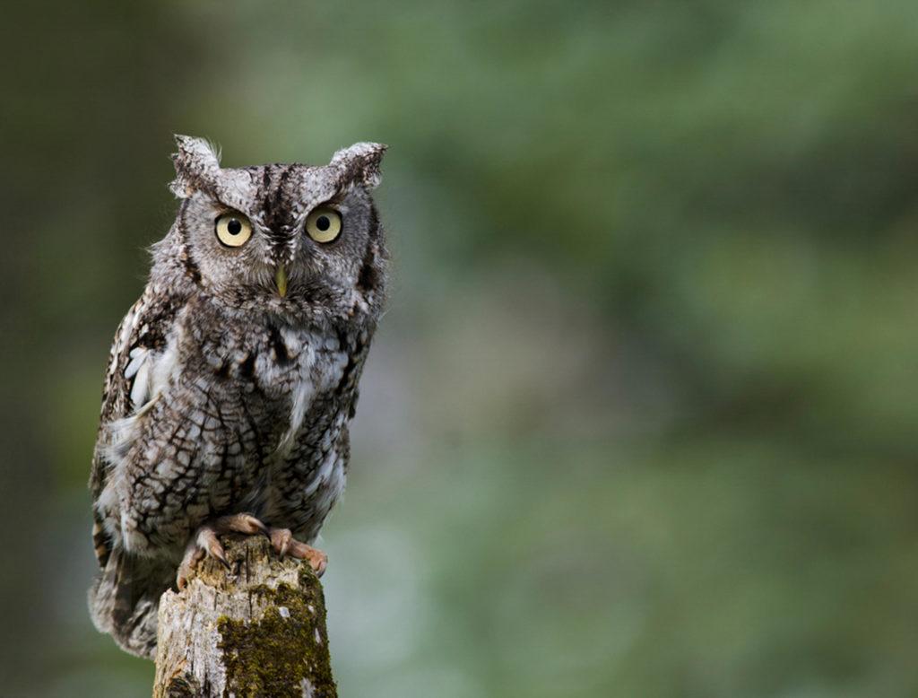 jenis burung hantu Eastern screech owl 3