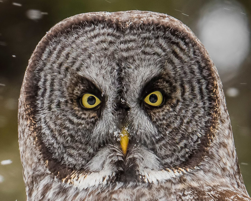 jenis burung hantu Great gray owl