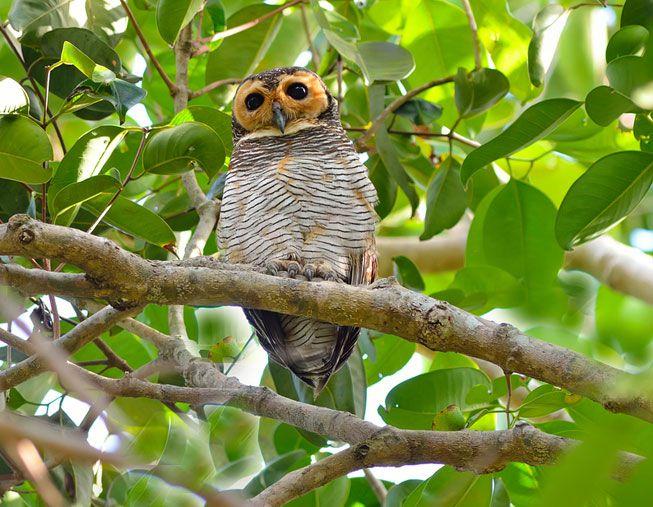 jenis burung hantu Spotted wood owl