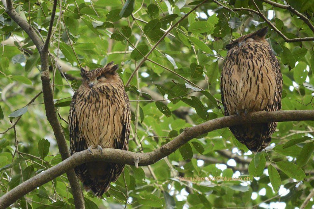 jenis burung hantu Tawny fish owl