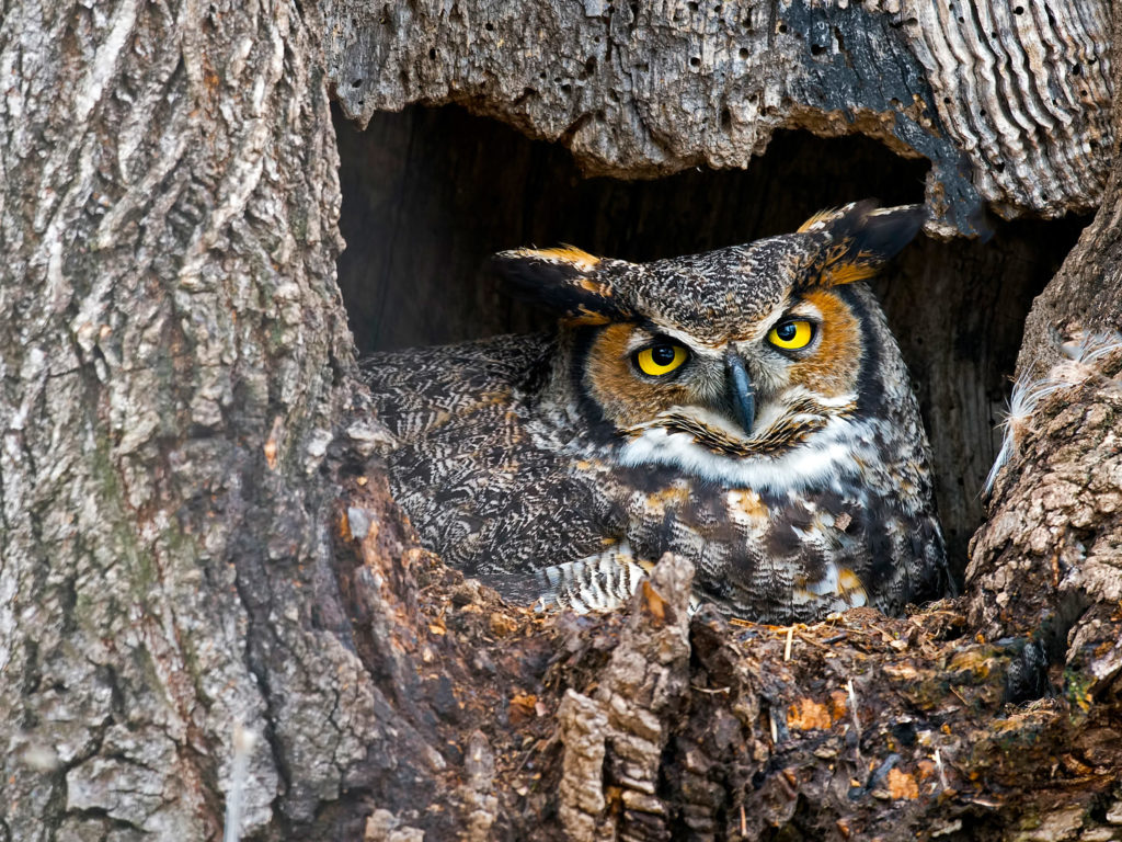 jenis burung hantu great horned owl