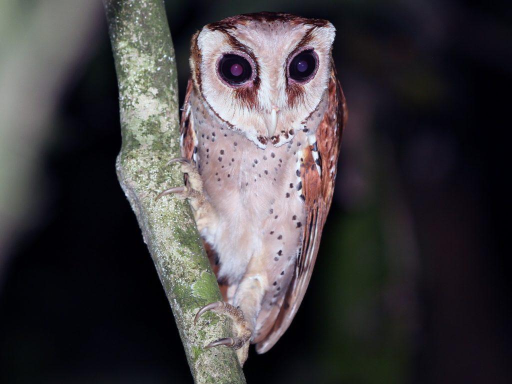 jenis burung hantu oriental bay owl