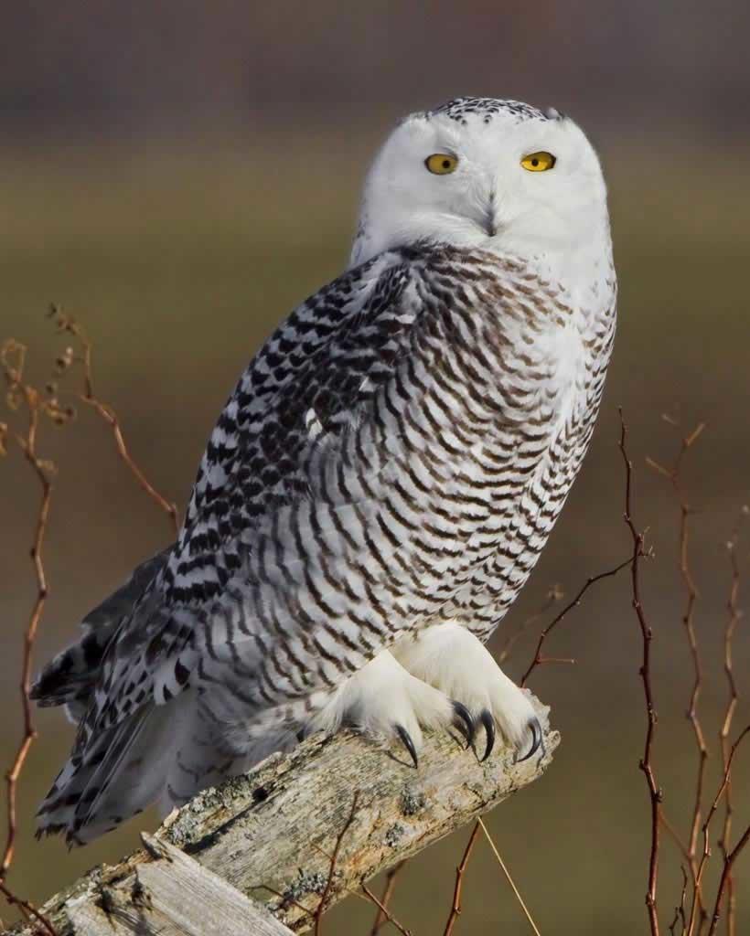 jenis burung hantu snow owl