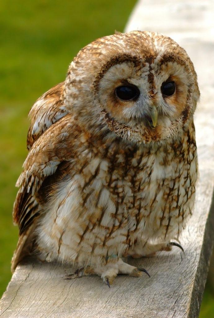 jenis burung hantu tawny owl