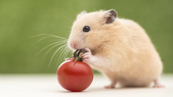 Jenis hamster hd