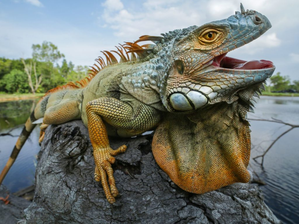 jenis iguana hijau