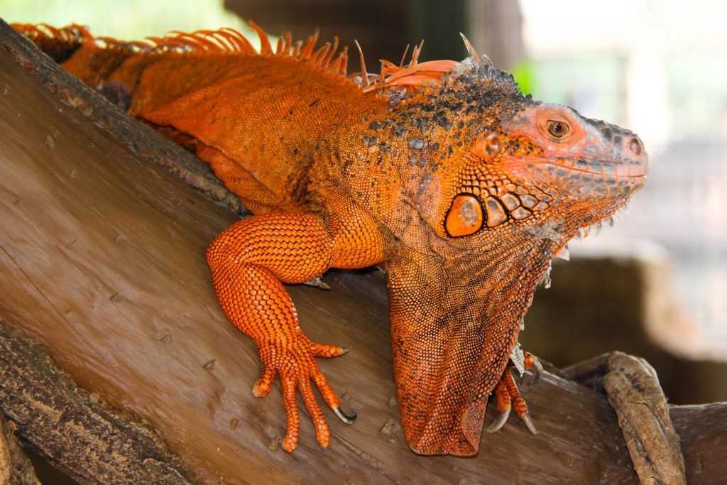 jenis iguana red
