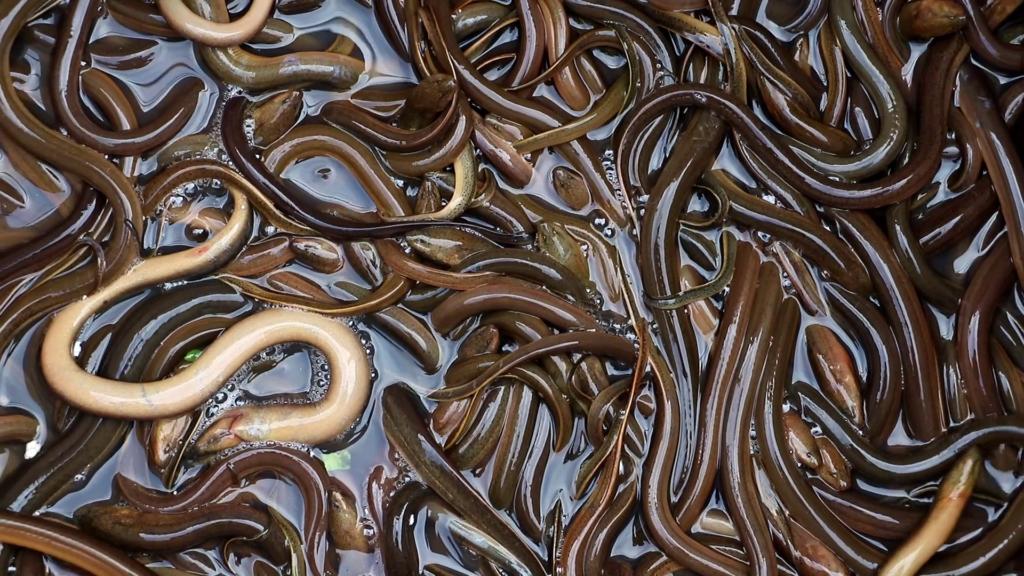 jenis ikan air tawar belut