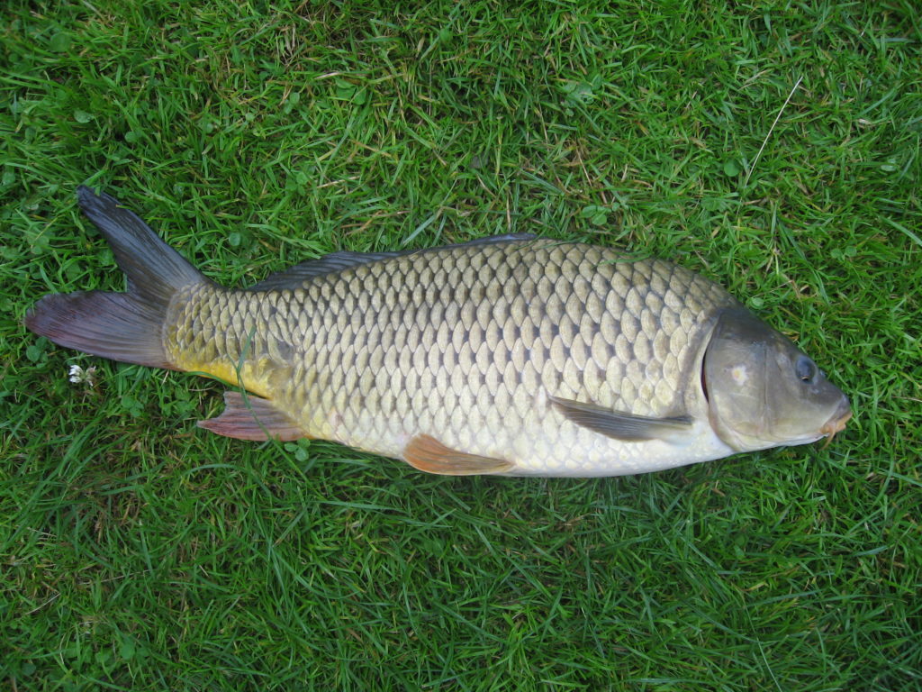 jenis ikan hias air tawar mas
