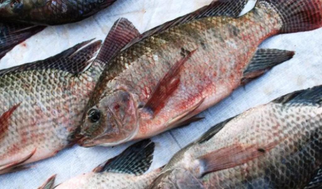 jenis ikan air tawar mujair