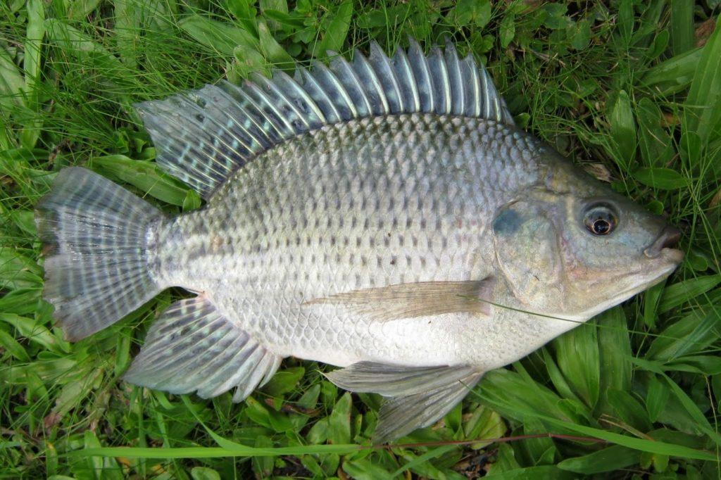 jenis ikan air tawar nila