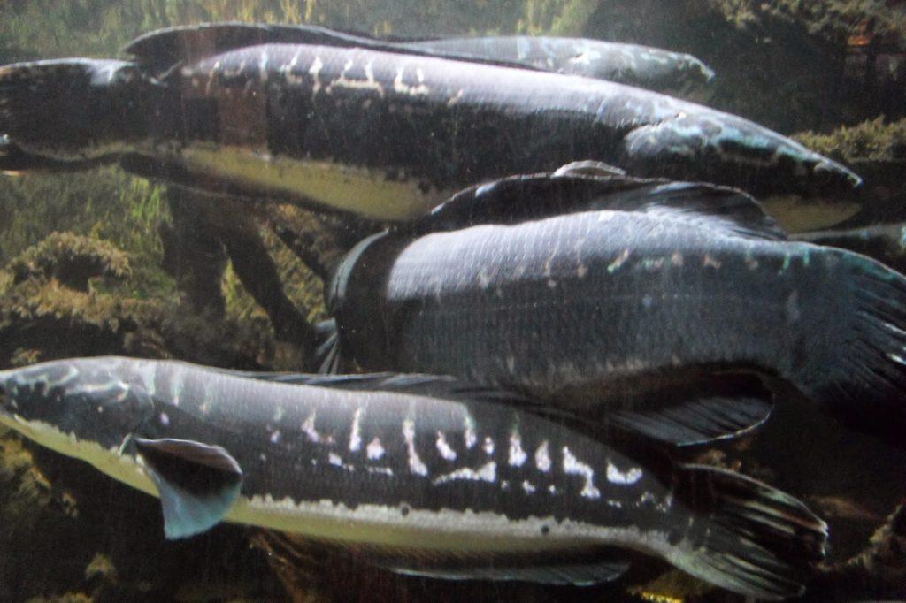 jenis ikan air tawar toman