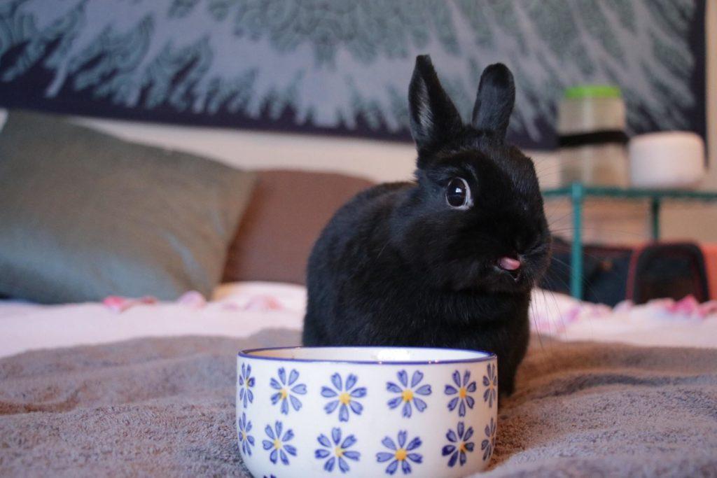 25 Jenis Kelinci Yang umumnya dipelihara (Hias – Daging) oleh - villakucinganggora.online