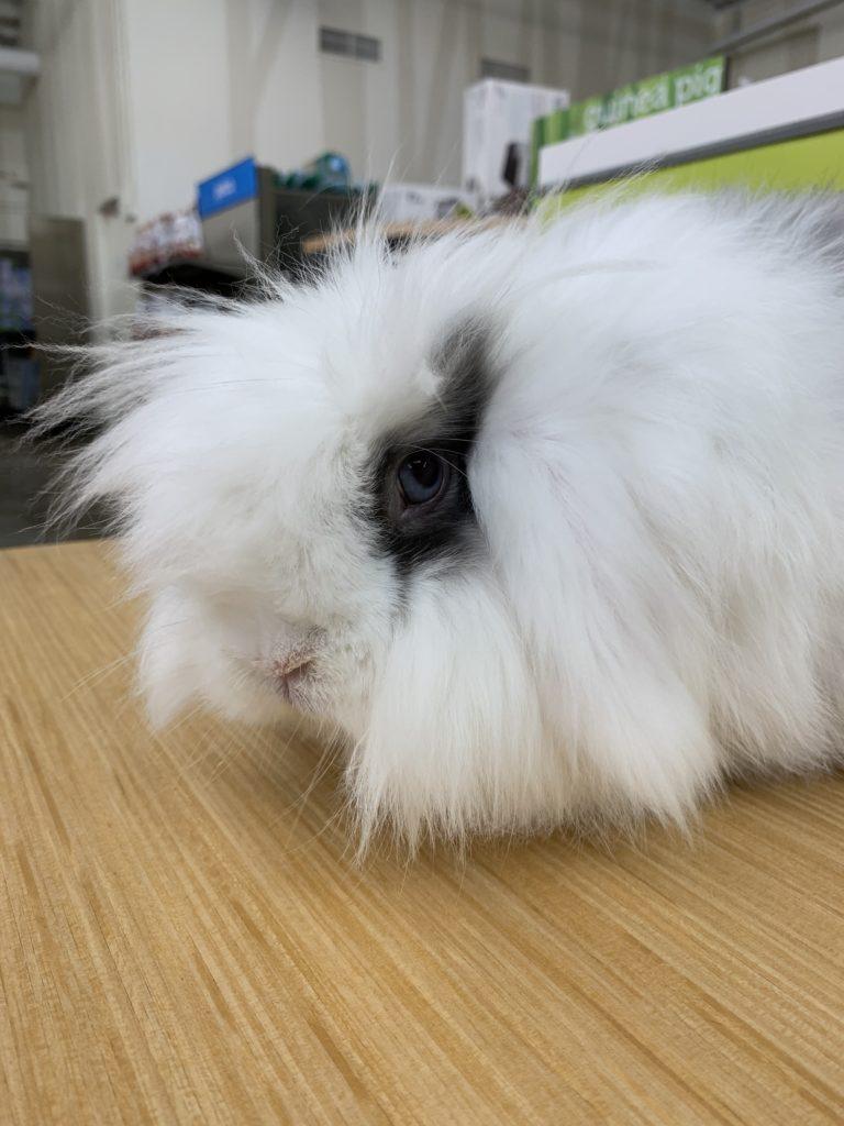 jenis kelinci angora